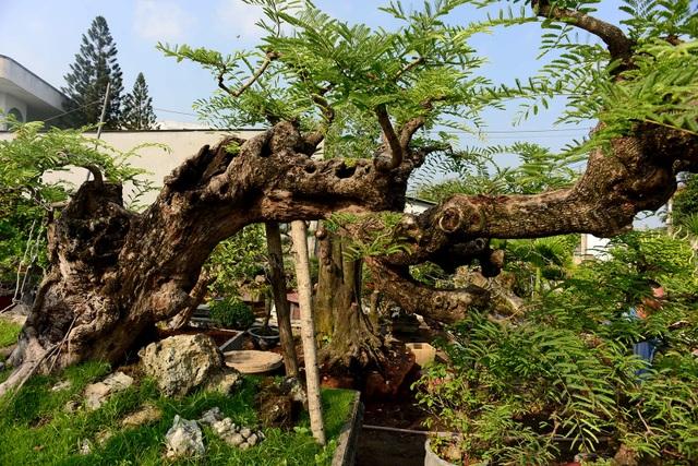 """Ngỡ ngàng với cây me """"ba đầu rồng"""" xưa nay hiếm ở Sài Gòn - 7"""