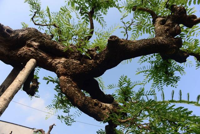 Cây me được trồng trong một chiếc chậu lớn vững chãi, chiều cao nguyên chậu trên 3,2m; thân cây sần sùi với hoành lớn hơn 200cm; chiều dài khoảng 4m và chiều rộng tán cây tầm 2,5m.