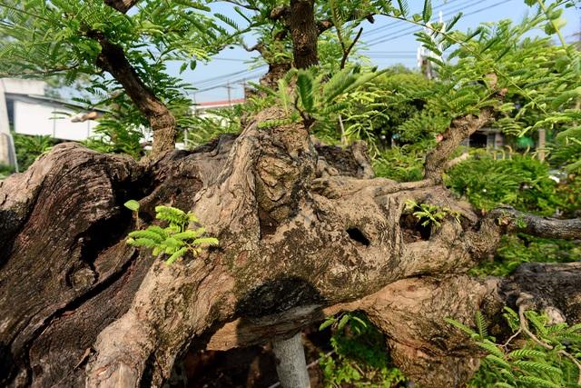 """Ngỡ ngàng với cây me """"ba đầu rồng"""" xưa nay hiếm ở Sài Gòn - 6"""