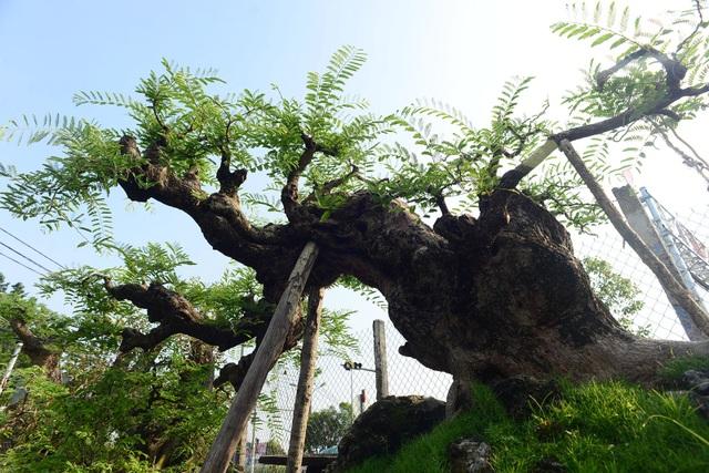 Thế cây đổ ngang nhưng các nhánh cây vẫn hùng dũng vươn theo thế bay