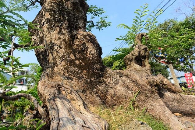"""Ngỡ ngàng với cây me """"ba đầu rồng"""" xưa nay hiếm ở Sài Gòn - 5"""