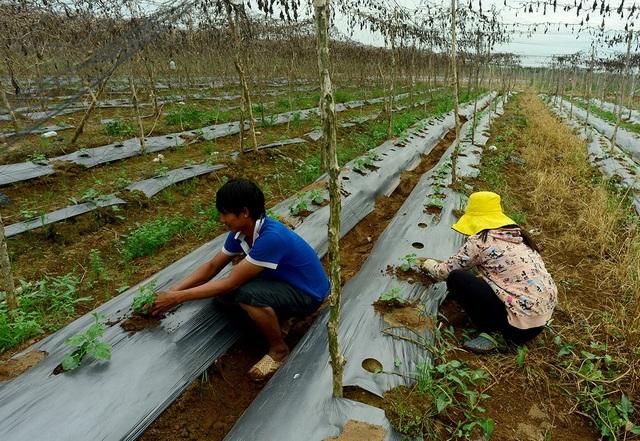 Công việc chính của các hộ gia đình là trồng bầu bí, rau củ để bán ra chợ Bình Điền.