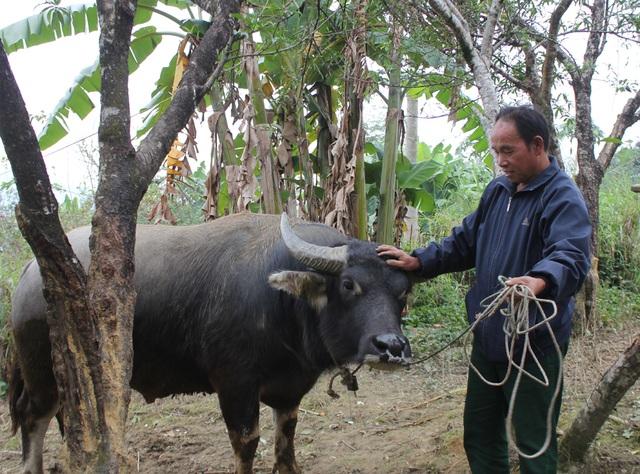 Ông Mùa Vả Phia bên con trâu mộng trị giá hơn 50 triệu đồng, bằng cả gia tài của một hộ người Mông nơi đây.