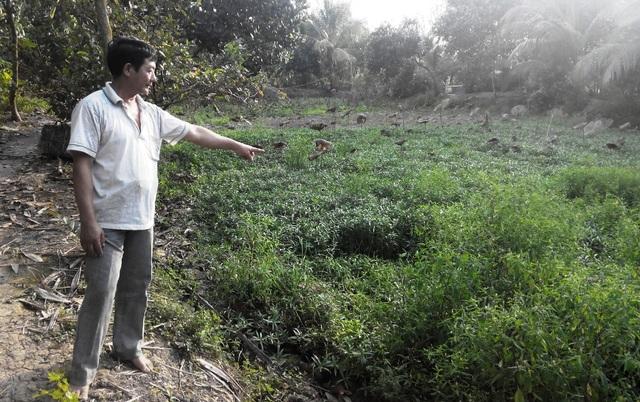 Cái ao ông Đinh Văn Út thả nuôi 4kg tôm hùm đỏ cho ông Trần Văn Hoà, nay cỏ và rau mọc um tùm