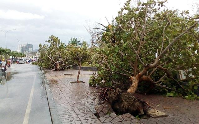 Cây bàng vuông gần cầu Trần Phú (Nha Trang) bật gốc sau bão