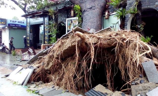 """Hàng cây chống bão ven biển Nha Trang """"đổ rạp"""" trước bão số 12 - 8"""