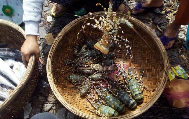 Tôm hùm đi lạc khỏi lồng bè sau bão, được những người dân khác đánh bắt được đem bán ngay ở cảng đò Vạn Giã (thị trấn Vạn Giã, huyện Vạn Ninh).