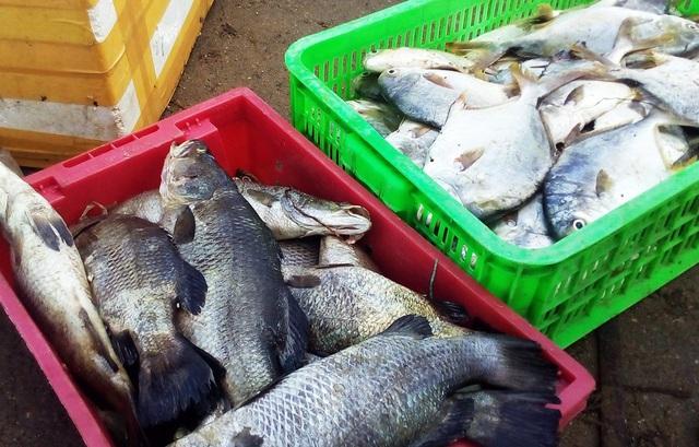"""Hàng chục tấn tôm hùm, cá mú, cá bớp… """"rẻ như cho"""" sau bão Damrey - 1"""