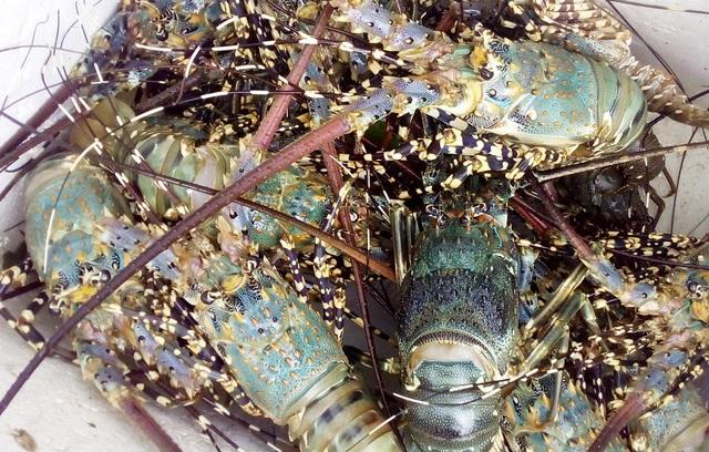 Người dân nuôi tôm hùm ở huyện Vạn Ninh (Khánh Hòa) đã mất tiền tỷ sau bão số 12 do bè tôm bị vỡ, tôm thoát ra biển