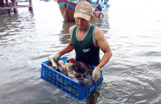 Mỗi hôm, các tàu cá đánh bắt được 5-7 tạ cá mú trên biển từ nguồn cá bị vỡ lồng bè do bão số 12