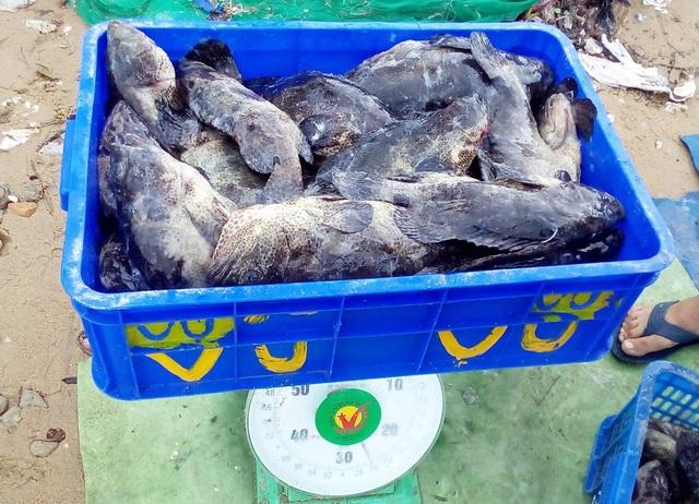 Cá mú được thương lái thu mua dao động 50.000-70.000 đồng/kg ngay tại bến