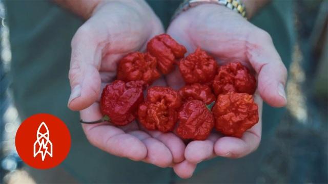 Pepper X thiết lập kỷ lục thế giới, trở thành loại ớt cay nhất thế giới ở ngưỡng 3,18 triệu độ trên thang độ cay Scoville