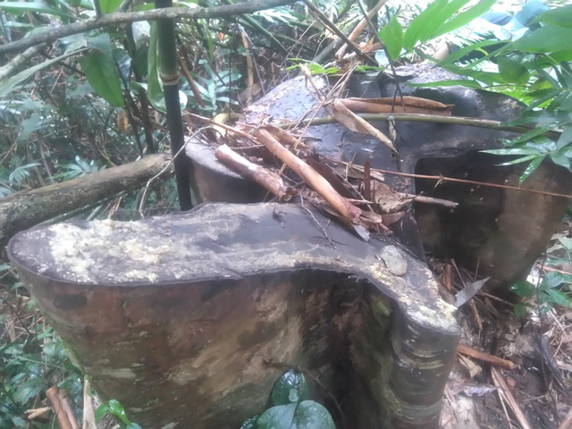 Những cây gỗ bị đốn hạ đã được vận chuyển đi chỉ còn lại gốc