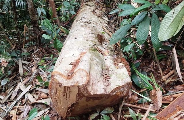Cây gỗ lớn đã bị lâm tặc đốn hạ