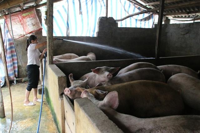 Nhiều hộ chăn nuôi lợn ở Hà Nam vẫn cố cầm chừng đàn lợn dù đã đến ngày xuất chuồng