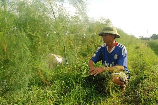 Ông Trường, người tiên phong trồng măng tây xanh xã Tự Lạn