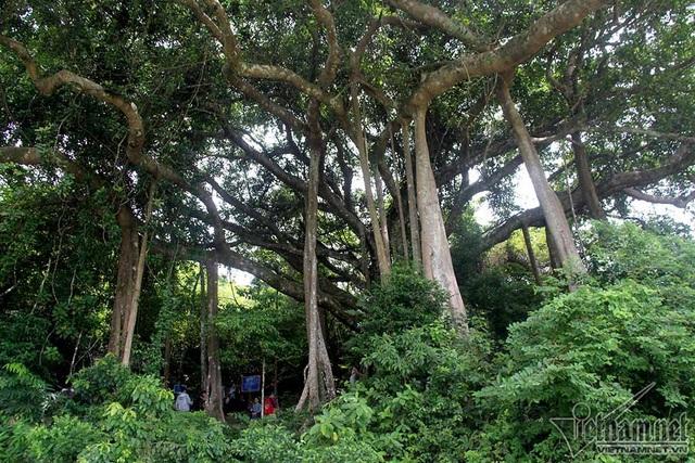 Cây đa di sản hơn 800 năm tuổi