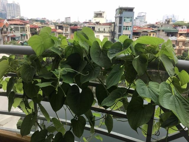 Chị Nguyễn Vân Hương, chủ của vườn cây ngoài ban công trên, cho biết chị có sở thích trồng các loại rau củ quả lạ. Giống khoai tây leo giàn này có nguồn gốc từ châu Á và châu Phi