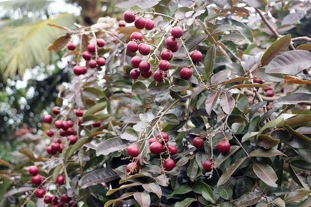 Loại nhãn độc nhất vô nhị này xuất hiện trong vườn nhà ông Trần Văn Huy (ngụ ấp Phong Thạnh, xã Phong Nẫm, huyện Kế Sách, tỉnh Sóc Trăng).