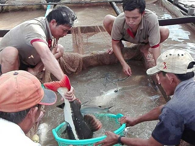Ông Bảy Bon cùng người nhà bắt cá hồng vỹ đem sang lồng cá khác để nuôi. Ảnh: H.DƯƠNG