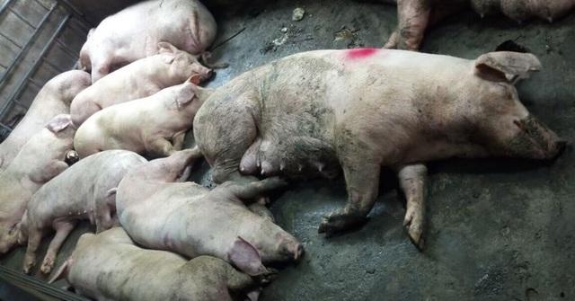 Số heo sống có dấu hiệu mắc bệnh lở mồm long móng được nuôi nhốt tại cơ sở của bà Thơm