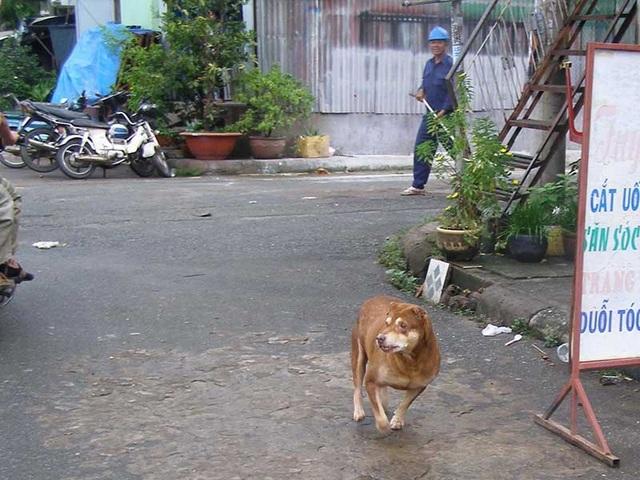 Nhân viên Chi cục Thú y TP.HCM đuổi bắt chó chạy rông. Ảnh: TRẦN NGỌC