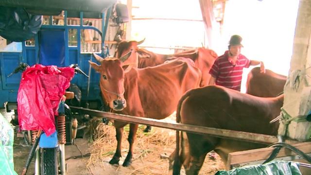 Người dân tại huyện Đồng Xuân đưa bò lên cao tránh lũ
