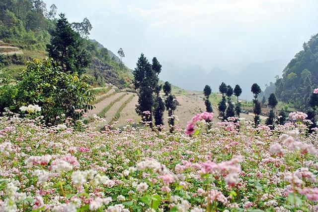 """""""Phát cuồng"""" vẻ đẹp hoa tam giác mạch bung nở trên sườn núi đá Hà Giang - 1"""