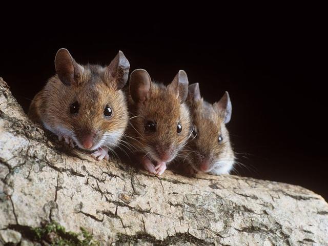 Kỹ thuật cấy ghép mới để tăng thị lực đã thành công trên chuột - 1