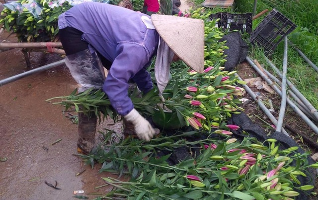 Nhiều người trồng phải cắt bán sớm những cành ly mong được đồng nào hay đồng ấy. Ảnh: Thu Thoan