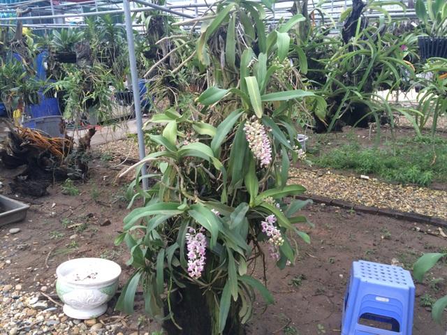 Hoa của lan Đai Châu rừng