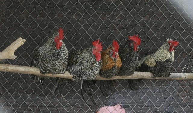 Giống gà Phượng Vũ có xuất xứ từ Malaysia.