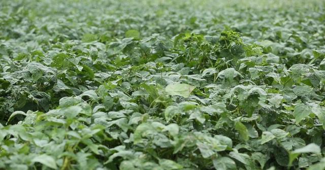 Vùng đậu nành trồng theo tiêu chuẩn dược liệu GACP – WHO đầu tiên tại Việt Nam của nhãn hàng Bảo Xuân