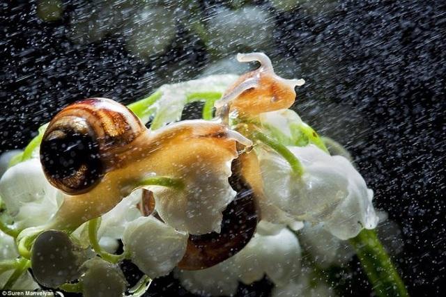 Bộ ảnh tuyệt đẹp về loài ốc sên dưới mưa - 1