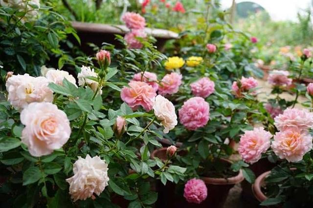 Chồng bỏ lương 100 triệu cùng vợ trồng 100 ngàn cây hoa hồng - 2