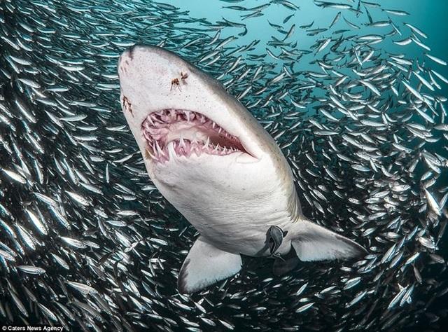 Điều đáng ngạc nhiên là dù bơi giữa quả cầu thức ăn khổng lồ nhưng Tanya không hề thấy chú cá mập hổ ăn một con cá nào. (Nguồn: Caters News Agency)