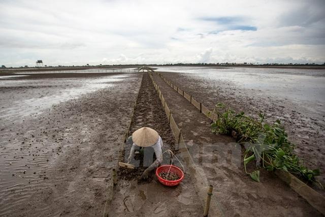Thái Bình: Kiếm tiền triệu từ nghề cào ngao thuê ở Đồng Châu - 2