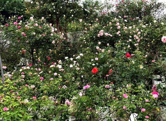 Sau 3 năm, chị Tuyết sở hữu 6.000 gốc hoa hồng các loại