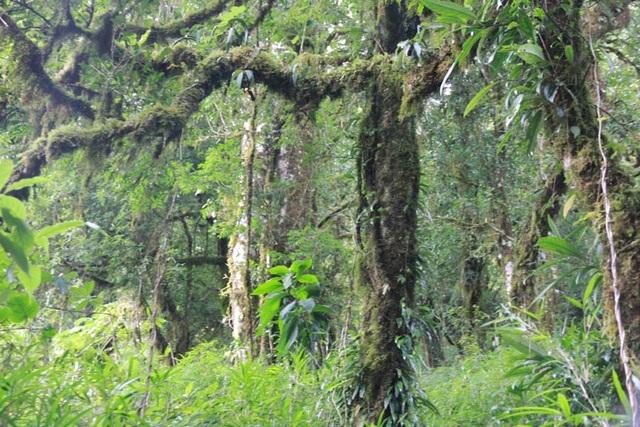 Cận cảnh những gốc cây chè ở rừng chè cổ thụ này có tuổi thọ hàng nghìn năm tuổi ở độ cao trên 1.500m.