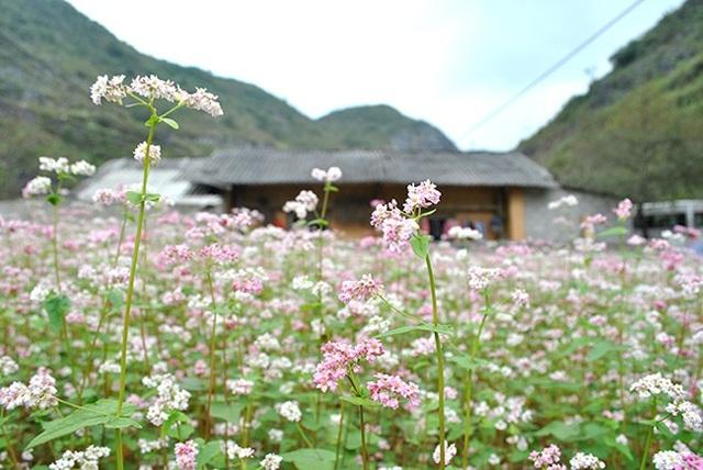"""""""Phát cuồng"""" vẻ đẹp hoa tam giác mạch bung nở trên sườn núi đá Hà Giang - 2"""