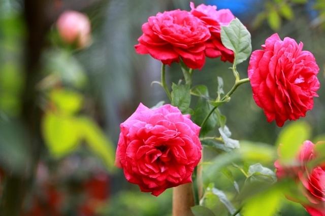 Điểm đến hấp dẫn cho người đam mê hoa hồng dịp 30/4 tại Hà Nội - 11