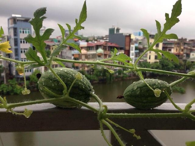 Dưa hấu Nga cũng là một loại quả lạ được chị trồng ngoài ban công