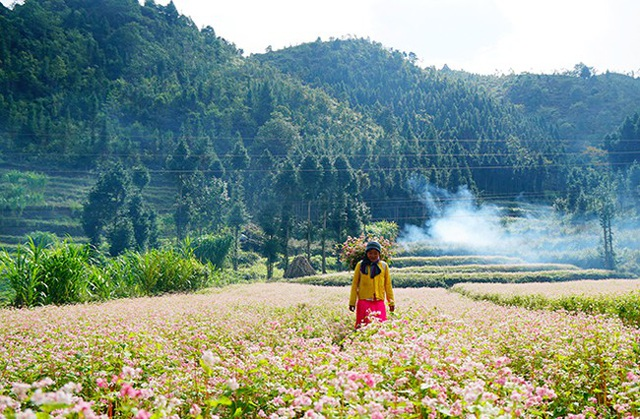 """""""Phát cuồng"""" vẻ đẹp hoa tam giác mạch bung nở trên sườn núi đá Hà Giang - 11"""