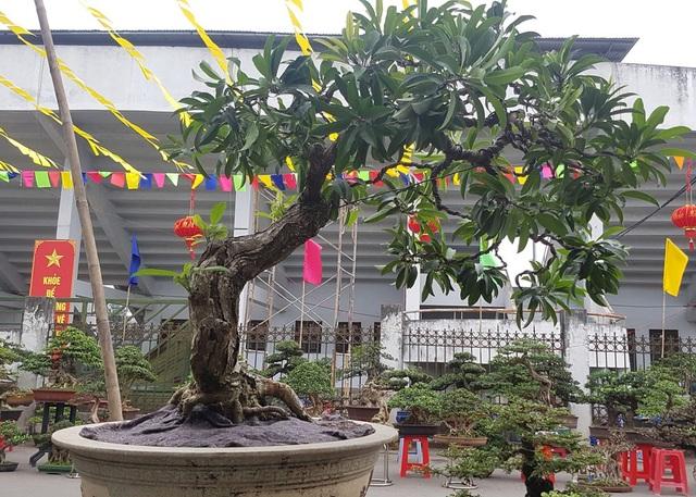 Cây hồng xiêm đến từ Bình Định được phát giá 45 triệu đồng.