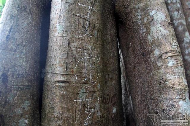 """Cây 800 tuổi ở Đà Nẵng """"đau đớn"""" vì chằng chịt """"lời tỏ tình"""" - 12"""