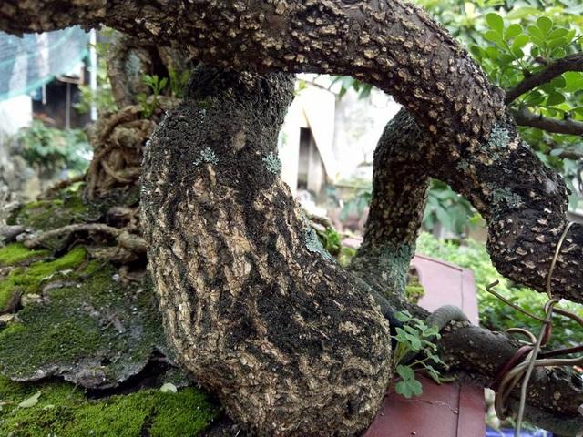 Nếu tính chỗ to nhất của gốc cây cần thăng khủng này cũng chỉ bằng bắp chân của người lớn.