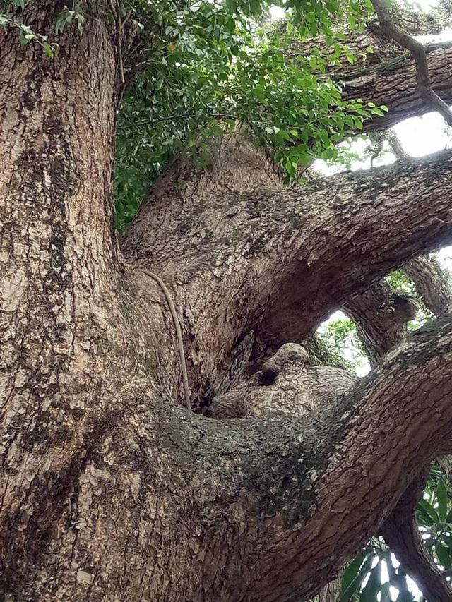 Thân cây xuất hiện những cục u toát lên vẻ cổ kính, uy nguy của cây.