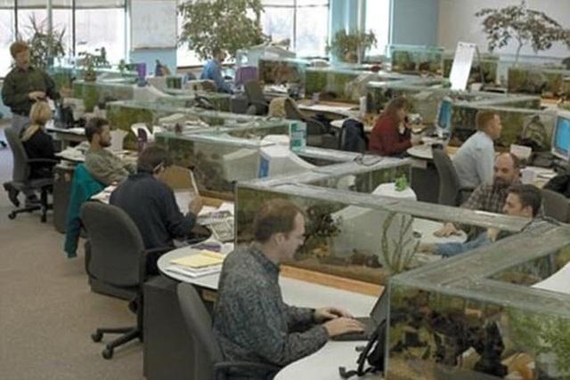 Các bể thủy sinh hình zig-zag được lắp đặt dọc bàn làm việc của nhân viên tại văn phòng công ty phần mềm Freshwater ở Boulder, Colorado, Mỹ.