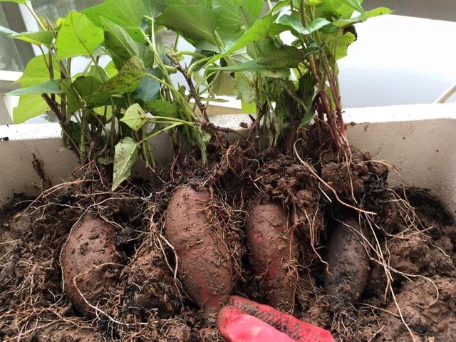 Ngoài ra, chị Hương còn trồng cả khoai lang Nhật