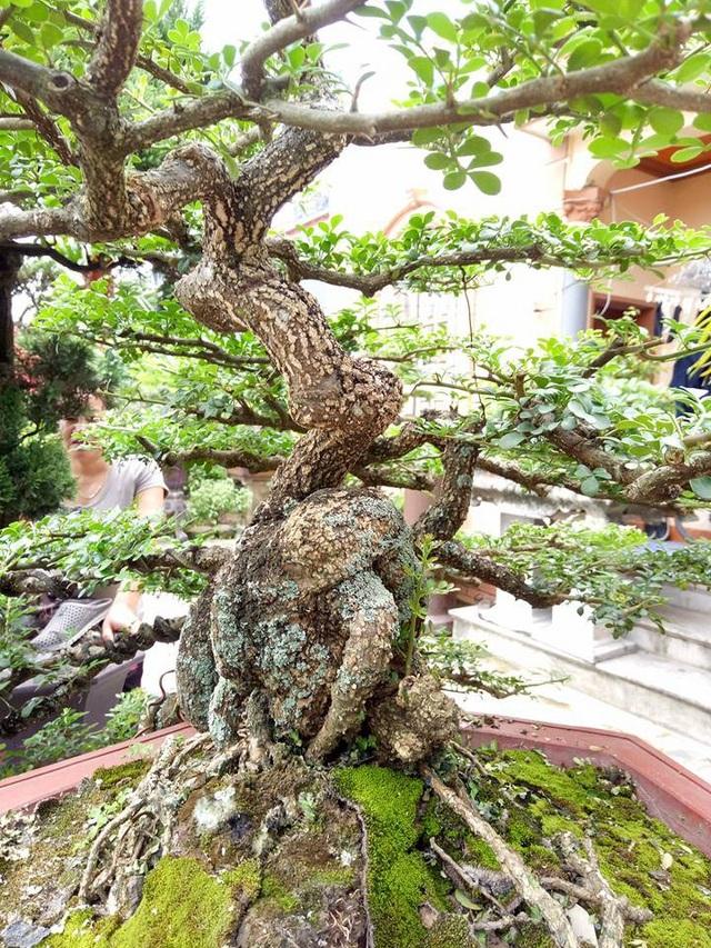 Từ gốc đến ngọn, cành lá mọc rất khỏe khoắn và có tới 36 tầng lá.